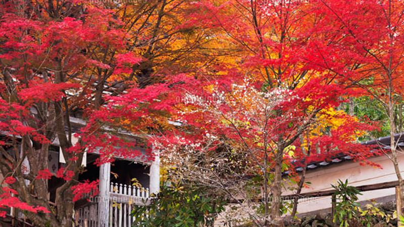 普門寺の四季桜
