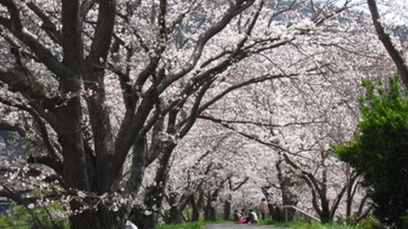 かながわ桜並木