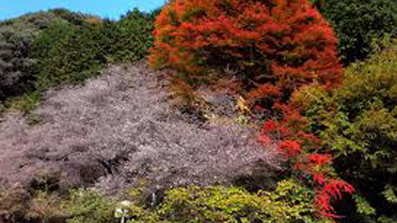 神代四季桜